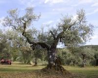 grande-olivo_086